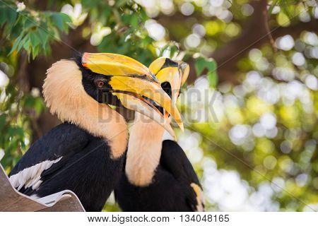 Great indian hornbill in rainforest, wildlife animal
