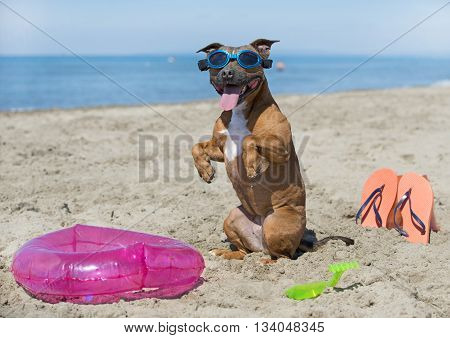 staffordshire bull terrier standing up on the beach