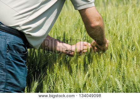 Wheat crop protection and responsible cereal grains farming male farmer in cultivated field.