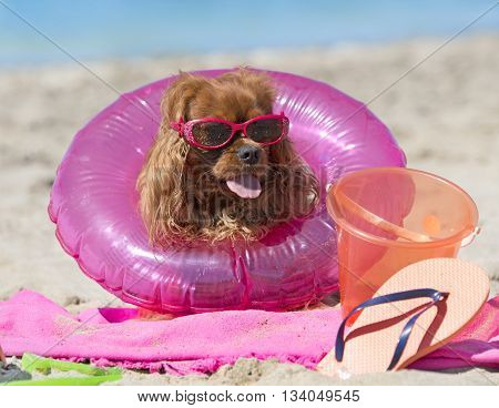 cavalier king charles with rubber ring on the beach