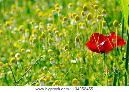 Picture of a One red poppy and many chamomilles