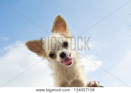 White Chihuahua Whit Sky Background