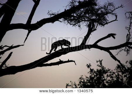 Silhouetted Leopard