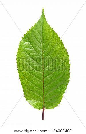 Sweet cherry leaf isolated on white background