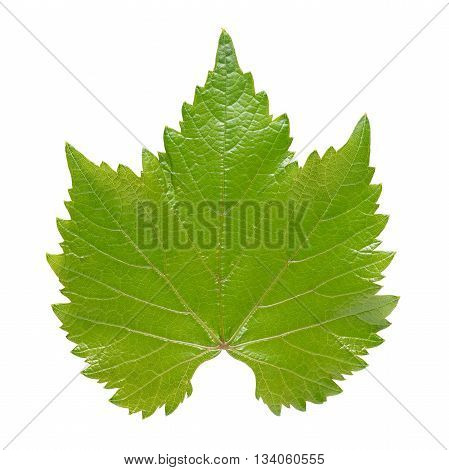 Green grape leaf isolated on white background