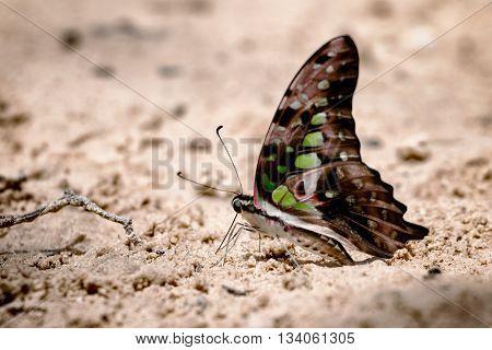 Butterfly eating Salt licks on ground at Pangsida national park SakaeoThailand