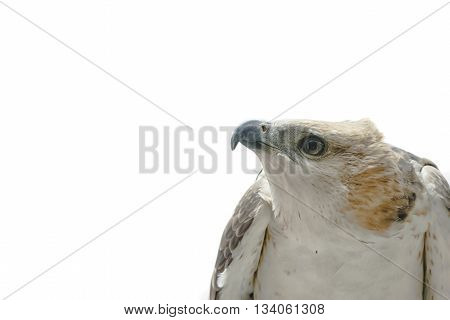 Portrait of beauty hawk Changeable Hawk Eagle (Nisaetus limnaeetus)