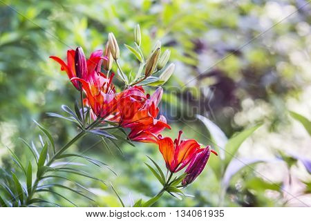 Red orange Daylily flowers in a blurred background