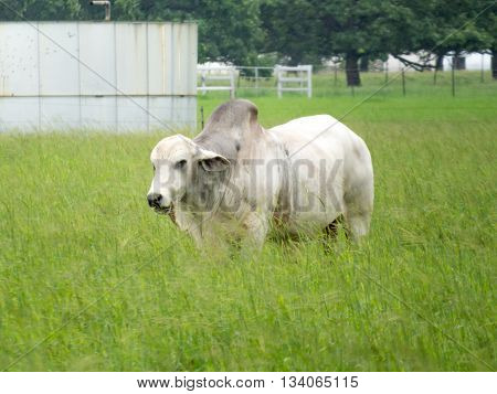 Large white buffalo grazing in a green field
