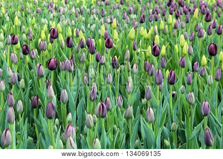 Peaceful scene of deep purple tulips, not yet open under Springtime warmth and sunshine.
