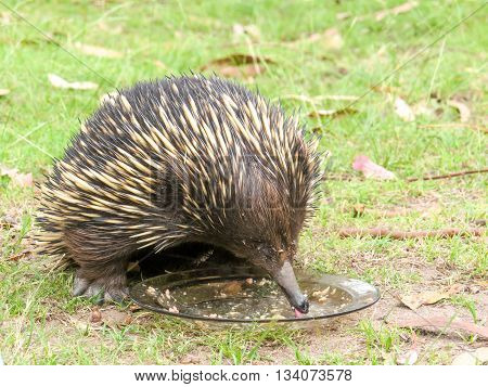 Closeup of an echidna eating food in a rescue facility