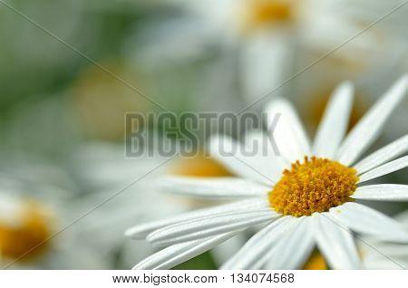 White Chamomile Flower Macro