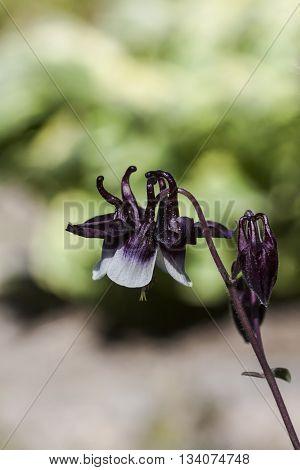 a dark purple and white granny´s bonnet