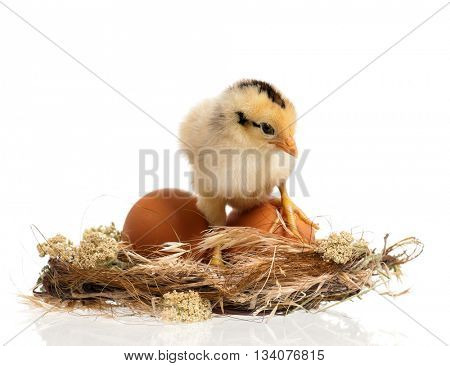 Cute little newborn chicken standing in nest, isolated on white background. Newly hatched chick on a chicken farm.