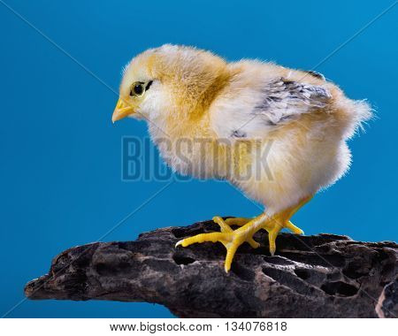 Cute little newborn chicken on blue background, standing on wood. Newly hatched chick on a chicken farm.