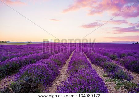 Blossoming Lavender fields in Valensole plateau in Provence, France on sunset. Beautiful view on rows and provencal houses. Popular place for traveling and tourists in summer.