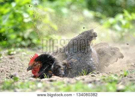 Domestic chicken having a dust bath to keep healthy