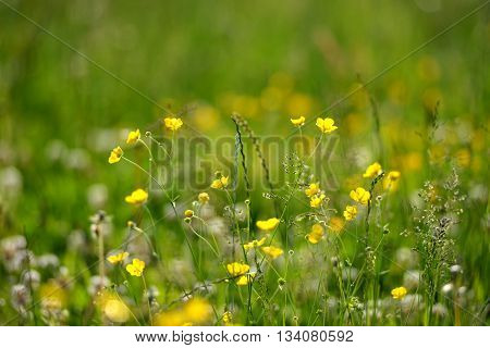meadow flowers including buttercups dandelions and clover