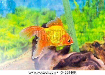 Photo of aquarium goldfish in blue water