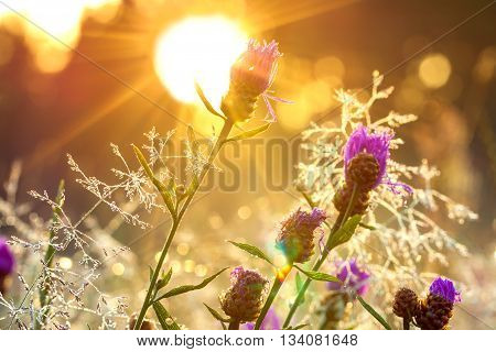 the sunrise on the blossoming summer meadow soft focus