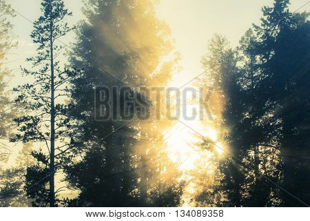 Brilliant morning sun rise rays beaming through silhouetted pine trees