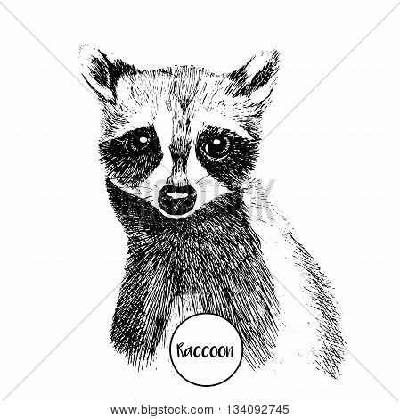 Vector close up portrait of raccoon. Hand drawn wild mammal animal illustration. Vintage engraved style. On white background.