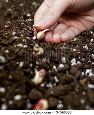 the hand putting young sprouts of haricot to the earth, fertilizers are present, small germinated haricot lies on the earth,