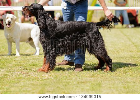 Young Dog During Dog Show