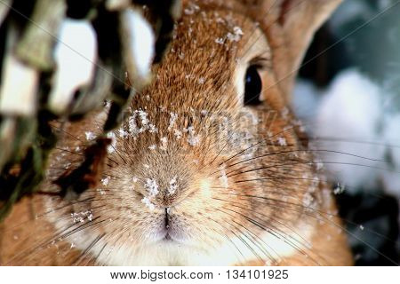 A Rabbit Playing Hide and Seek under snow in winter