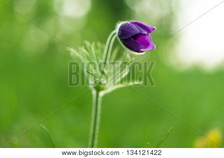 dream herb (Pulsatilla patens) on the meadow