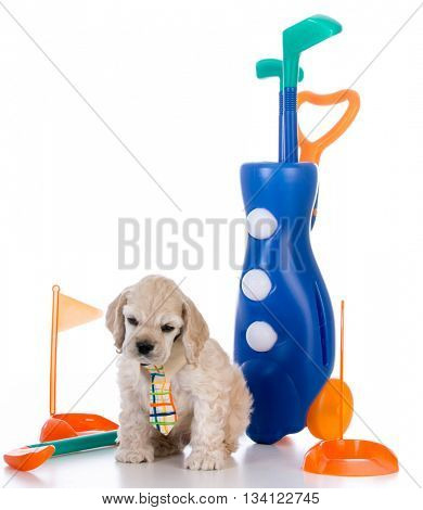 american cocker spaniel puppy sitting with golf club set