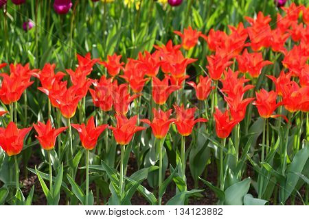 colorful bright beautiful red tulips on the flowerbed