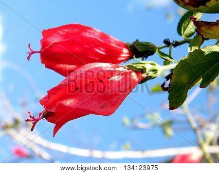 Beautiful Malvaviscus Arboreus flowers in Or Yehuda Israel