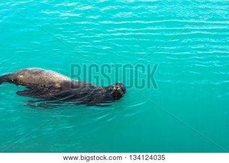 View of a sea lion in the ocean in Santa Cruz, California