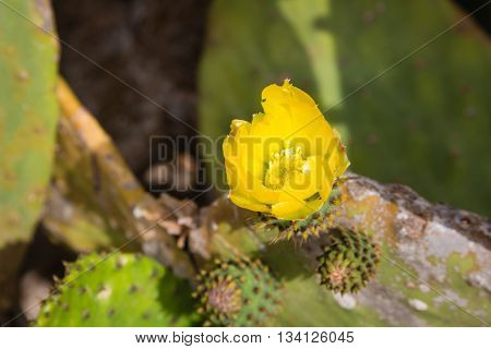 Flora on the island Malta - flowering prickly pear.