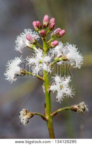 Flowering Bogbean (Menyanthes trifoliata ) in heathland bog.
