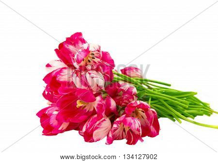 red flower tulips isolated on white background