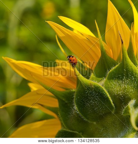 petals of a blooming sunflower and ladybird