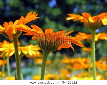 closeup of a medical marigold flowers in sunny day