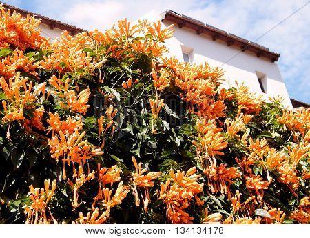 Blooming Pyrostegia venusta in Neve Savyon Or Yehuda Israel