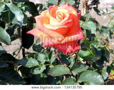 Orange Rose isolated in Or Yehuda Israel