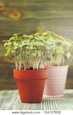 Young plants of mustard and pea seedling in small pots on wooden background. Soft selective focus rustic background