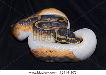 Royal Ball Pyhton Piebald colour mutation. Isolated on black velvet.