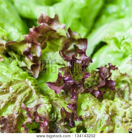 Fresh Green Leaves Of Lollo Rosso Lettuce Close Up