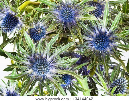 Above View Of Blue Thistle (eryngium) Blossoms