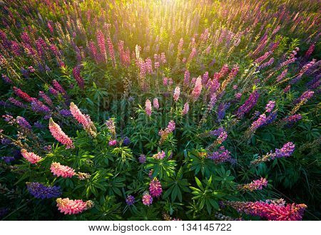 Lupine Flowers background.  Field of Lupines flowers in sunset lights