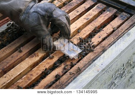 Hand of a beekeeper wearing protective glove replacing a bee queen in a special plastic container angled shot with particular focus