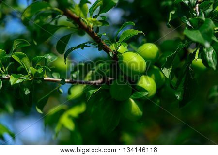Immature Young Green Plum