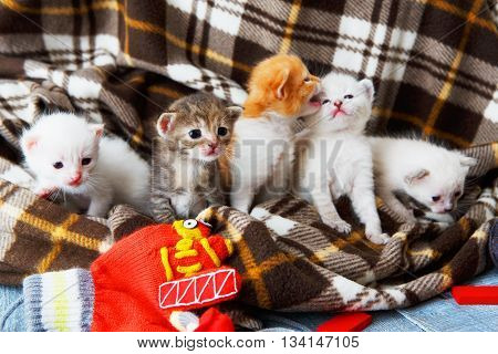 Kittens and mittens. White, ginger and grey newborn kittens in a plaid blanket. Sweet adorable tiny kittens on a serenity blue wood play with cat toy and mittens. Funny kittens crawling and meowing