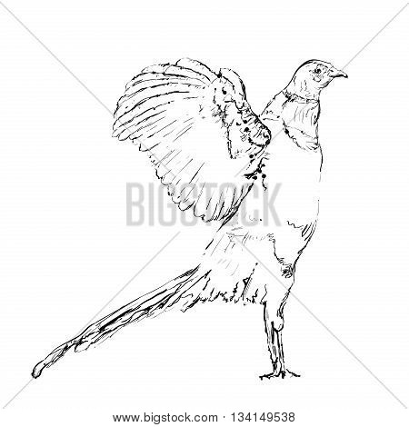 Hand drawn doodles bird. Pheasant sketch of the lines.